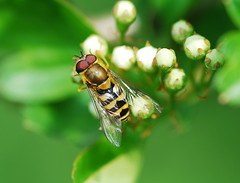 Hoverfly on hawthorn blossom